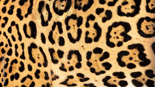 Real Live Jaguar Skin Fur Texture Background Canvas Print