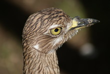 Spotted Thick-knee - Burhinus ...