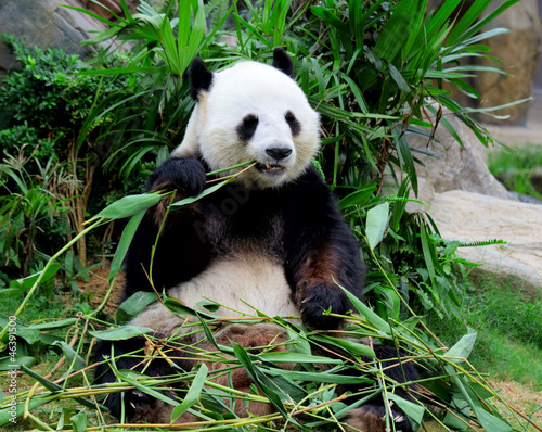 Photo Giant panda eating bamboo
