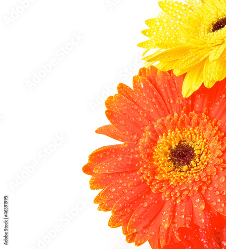 Tuinposter Gerbera Yellow and Orange Gerbera Flowers