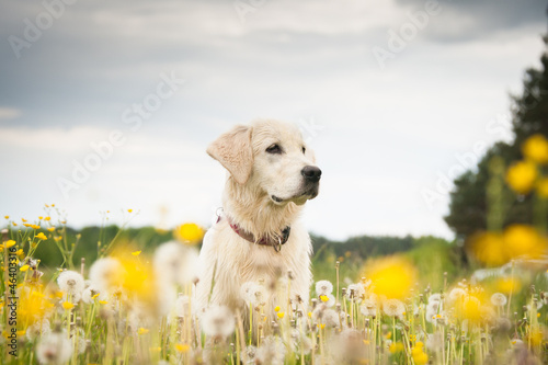 Fotografie, Obraz Golden retriever in flowers