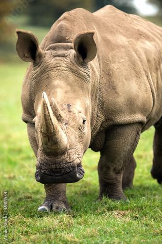 Obraz na plátne Charging Rhino