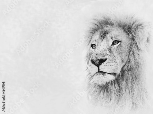Fotobehang Leeuw Lion Face on Card Banner