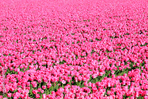 Photo Stands Candy pink Field of pink tulips. Foliage. Abstract background.
