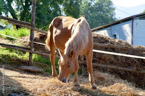 Fotografie, Obraz  Cavallo che mangia il fieno