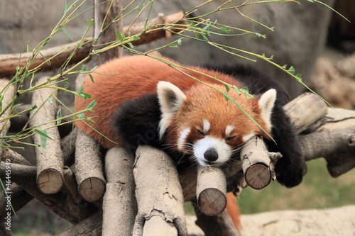 Photo  sleeping red panda in Hong Kong