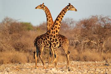 Panel Szklany Podświetlane Żyrafa Giraffe bulls, Etosha National Park