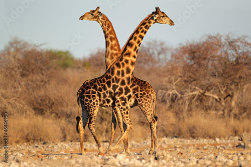 Photo  Giraffe bulls, Etosha National Park