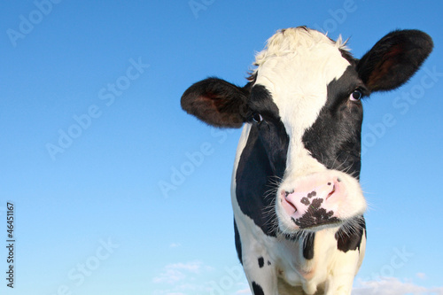 Montage in der Fensternische Kuh holstein cow against blue sky