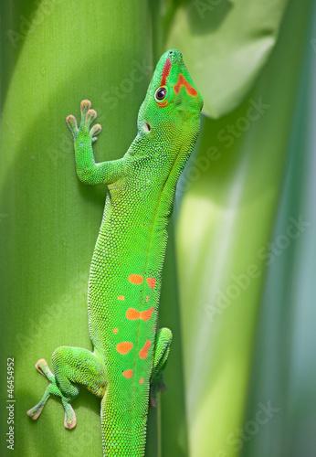 Poster Chamaleon Green gecko