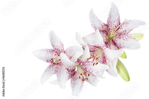 Photo  White lillies