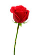 canvas print picture Beautiful red rose isolated on white background