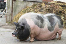 Pink And Black Speckled Pot-bellied Pig Front Of Dungheap