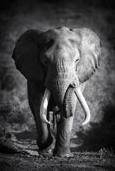 Plakat Elephant Bull (Artistic processing)