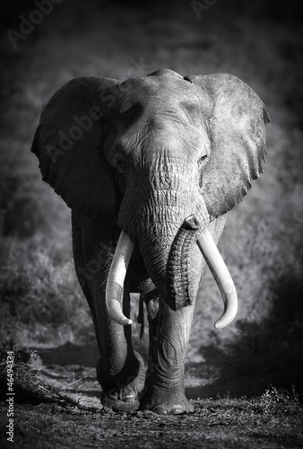Photo  Elephant Bull (Artistic processing)