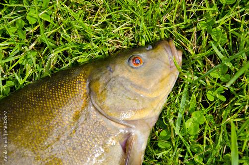 big tench head and eye on grass after fishing Tapéta, Fotótapéta