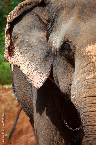 Photo  Elephants playing, eating sugar cane with their herd