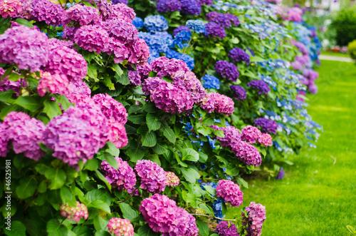 Spoed Foto op Canvas Hydrangea garden
