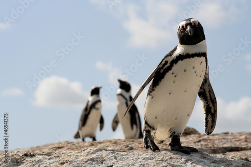 Boulders beach pinguins
