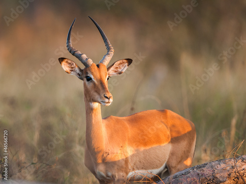 Cadres-photo bureau Antilope Impala