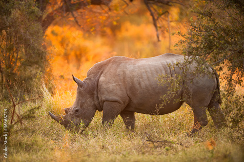 Tuinposter Neushoorn Rhinoceros in late afternoon