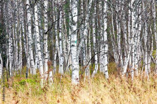 Deurstickers Berkbosje Natural background - a autumn birchwood