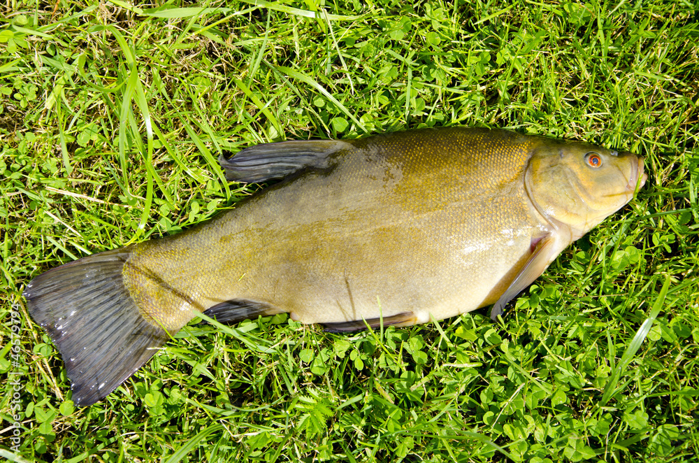 Fényképezés big tench after summer fishing on grass