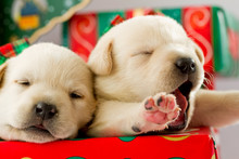 Christmas - Cute Labrador Puppies For Christmas Gift