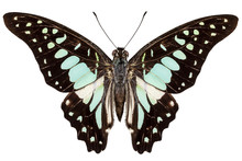 Butterfly Species Graphium Bat...