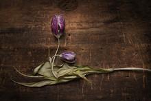 Stale Tulip