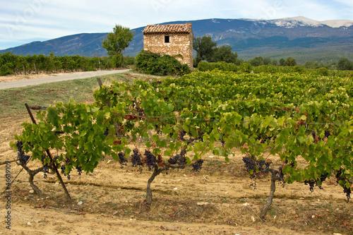 Champ De Vigne ventoux : cabanon dans un champ de vigne - buy this stock photo and