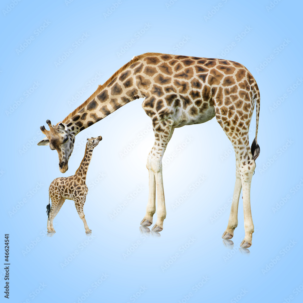 Fototapety, obrazy: Giraffe And Young One
