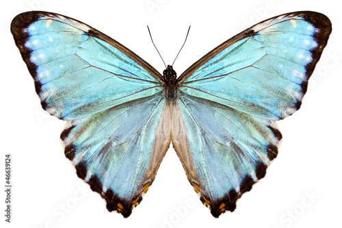 Deurstickers Vlinder blue butterfly species Morpho portis thamyris