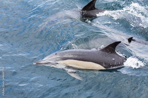 Staande foto Dolfijnen Common Dolphins swimming in ocean