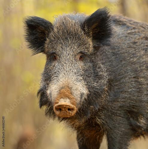 Fototapety, obrazy: Wild pig