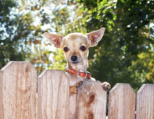 Chihuahua Looking Over A Fence