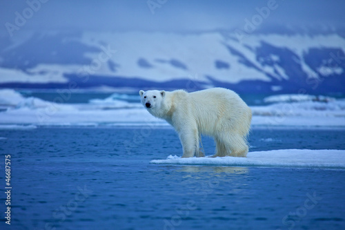 La pose en embrasure Ours Blanc Polar bear