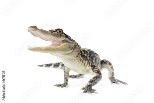 Photo American Alligator