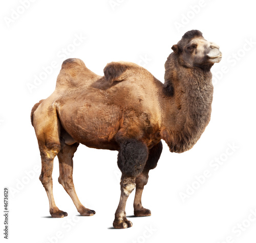 Poster Chameau Standing bactrian camel on white background