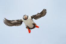 Atlantic Puffin Flying.