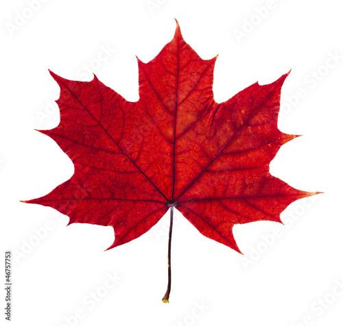 Fotografie, Obraz  Autumn maple leaf isolated on white background