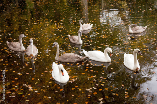 Poster Swan zwanen in een vijver tussen herfstbalderen