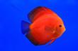 Leinwandbild Motiv Fish in the aquarium glass