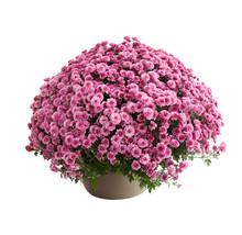 Chrysanthemum Belgo Lilac
