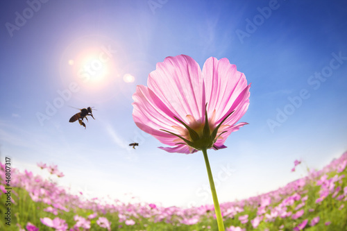 Poster Bee bee and pink daisies on the sunlight background