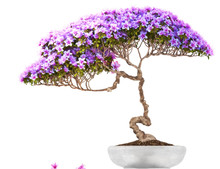 Bonsai Potted Tree ,side View,...