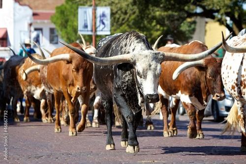 Staande foto Texas Longhorn herd