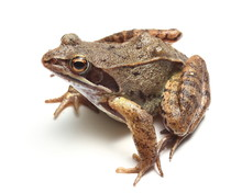 Common Frog (Rana Temporaria) ...