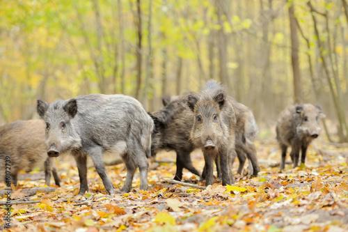 Fotografia, Obraz Wild boar