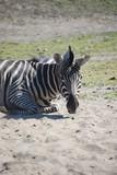 Fototapeta Sawanna - zebra